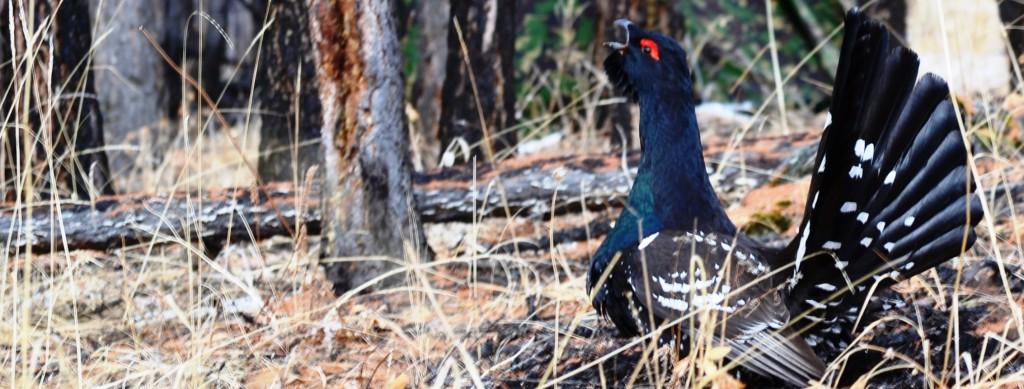 Séjour ornithologique dans le Khentii